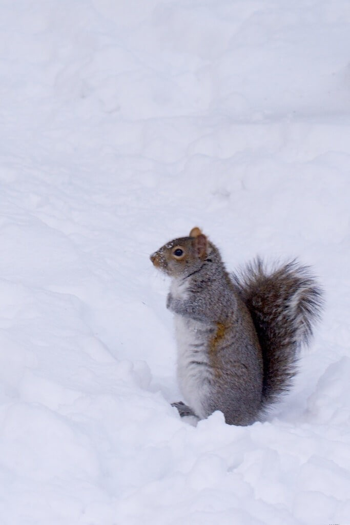 A picture of a squirrel in the snow, because why not?